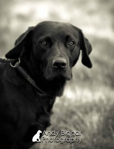 Dog Photographer www.AndyBiggar.com Labrador retriever Gundog of field trial in the UK.Black and White portrait Andy Biggar Photography the UK's Number One Dog Photographer