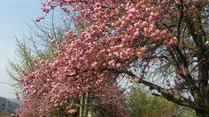 학교 주변에 겹 벚꽃이 흐드러지게 피었습니다.