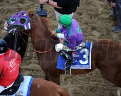 Alan Sherman removes the blinkers from California Chrome after he won the Preakness at Pimlico on May 17, 2014. Photo By: Chad B. Harmon