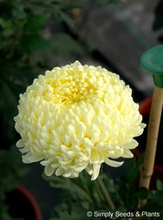 Chrysanthemum Creamist: One of the best known of all incurving bloom chrysanths