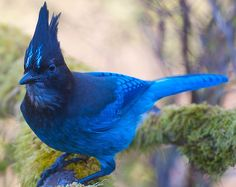 Stellar Jay - Flickr - Photo Sharing!