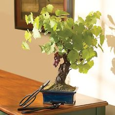 Grapevine trees take many years to grow.