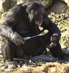There is a 31 year old monkey that knows how to cook - Fountain Safaris