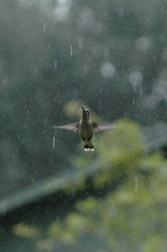 A hummingbird caught in the middle of it's rain dance! by Hercio Dias