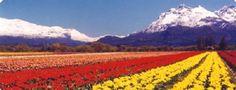 La ciudad de Trevelin, en la Patagonia Argentina, además de caracterizarse por la cosecha de fruta fina (cerezas, frutillas, frambuesas, etc) y la pesca de truchas, en el mes de octubre se viste de colores cuando los tulipanes florecen, lo que se ha convertido en un gran atractivo turístico.
