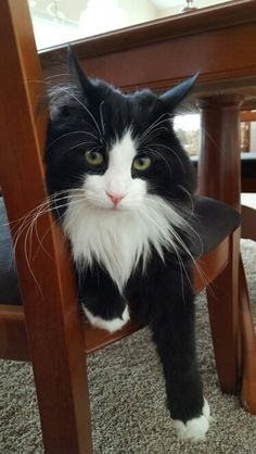 This looks just like my maine coon but mine has a black nose. We inherited him from my Mom and Dad.