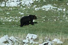 Incontro con l'Orso Marsicano (di Franco Cera)    10 dicembre 2011    Il dieci di dicembre scorso ero a Barrea, nel Parco nazionale d'Abruzzo, e vista la bella giornata, abbiamo deciso con Renzo, abituale compagno di escursioni, di andare a fare un giro in montagna: destinazione Lago vivo, come punto di partenza e poi senza una meta precisa.
