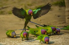Plum-Headed Parakeets by Ricky Jaswal - Photo 78521861 - 500px