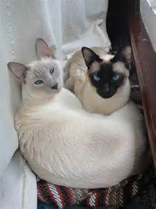 Tumblr Siamese - - Yahoo Image Search Results