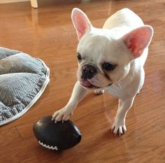 """No, I will NOT throw it back to you""...""it's mine now, and I'm keeping it!"", funny French Bulldog."