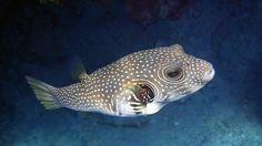 Pufferfish.... Johanna Hurmerinta photography