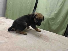 02/15/15-HOUSTON-GET THIS BABY OUT!! This DOG - ID#A424966 I am a female, brown Labrador Retriever mix. My age is unknown. I have been at the shelter since Feb 15, 2015.