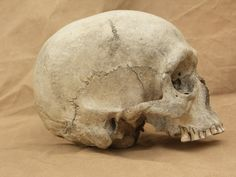 Human skull reference photos side view by Pronus on deviantART