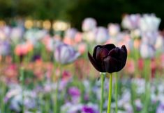 Most Beautiful Black Flowers with Pictures