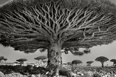 Heart of the Dragon, Socotra, Yemen, 2010. Living up to 500 years, these bizarre trees are unique to the island of Socotra. Growing in severe conditions, the tree has raised its branches upward over time in an effort to obtain moisture from the highland mists.  Once part of a vast forest, these remaining trees are now classified as endangered.     Credit: Beth Moon