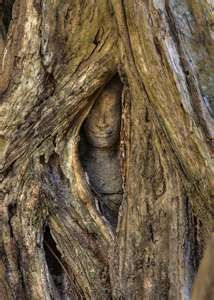 Stone face buried in the roots of a tree. Angkor. Cambodia