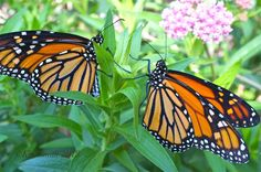 The population of monarch butterflies has taken a substantial drop over the past few decades � a devastating 96.5 percent to be exact