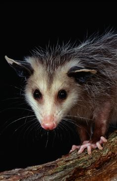 Opossum employs a strategic plan of refusing to argue or fight and uses appearances to its advantage and has the ability to project a certain appearance for its own benefit. To see Opossum indicates that something may not be what it appears to be. You need to dig deep and look for the hidden meaning of situations.