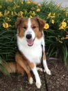 Misha Silver Lining | Old-Time Scotch Collie Pedigree Database