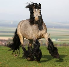 Irish Cob Buckskin Stallion