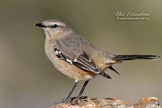 Photos of Mockingbirds / Calandrias - Mimidae - Argentina All Birds, Little Birds, Mocking Birds, Being In The World, Thrasher, Colorful Birds, Beautiful Birds, Bird Houses, South America