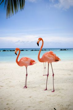 one happy island! Port and final port on this cruise. I think we'll stay on land this trip and find some of these beautiful flamingos! Flamingo Photo, Flamingo Decor, Pink Flamingos, Beautiful Birds, Animals Beautiful, Cute Animals, Aruba Caribbean, Flamingo Pictures, Flamingo Wallpaper