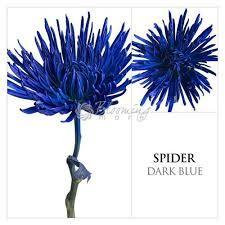 Image result for blue spider flower