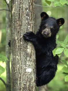 Black Bear Cub - Black bears are excellent climbers, scaling trees to play, hide, eat, and even hibernate.  Bears. Beets. Battlestar Galactica.