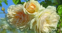 Wedding Garland Climbing Rose #ludwigsroses