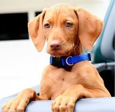 vizsla - I could be good with this option, especially if we found a rescue puppy
