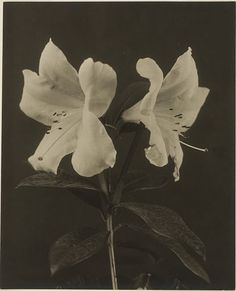 Sarah Choate Sears, Untitled (lily), c. 1892-c. 1905  |  Harvard Art Museums/ Fogg Museum