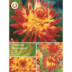 Vårløk Dahlia Cactus Vuurvogel