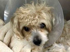 SUPER URGENT -PEEWEE – A1083434 MALE, TAN, YORKSHIRE TERR / POODLE MIN, 6 yrs OWNER SUR – EVALUATE, NO HOLD