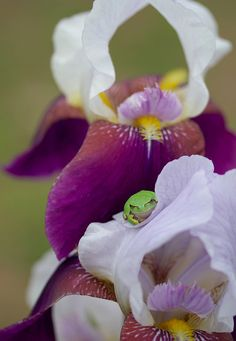 Iris and a little frog