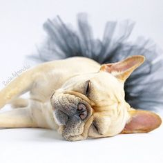 Lucy, the French Bulldog, #lucylefrenchie on instagram