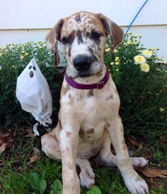 Tigra, fawn merle Great Dane puppy at 9wks old. Oh my gosh, I want this color!!