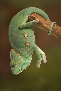 Chameleon by Christopher Schlaf