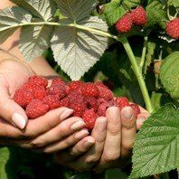 Easy tips for growing red raspberries in your home garden. Learn how to plant, care for, and fertilize red raspberry plants when gardening in your backyard. Raspberry Bush, Raspberry Plants, Organic Soil, Organic Fertilizer, Growing Raspberries, Growing Cantaloupe, Black Raspberries, Fast Growing Trees, Bountiful Harvest