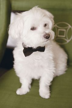 Dog in a Bowtie / John Park Photography