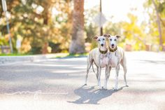 Whippet, Whippet Good // Melissa's Perspective // Two whippet siblings shot by Glendale Los Angeles Pet Photographer
