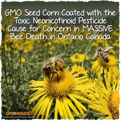 Bees Dying by the Millions:  Tied to GMO Seed Coated With Pesticide.... The LOCAL News In Richmond VA Was Telling The PEOPLE That The Massive BEES Dying In The STATES Are From YOU & ME USING CHEMICAL IN OUR HOME GARDENS, NO MENTION OF GMOS MONSANTO ETC.... SAD!!!