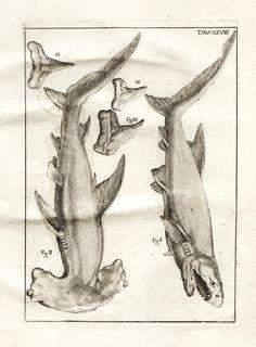 De corporibus marinis lapidescentibus Romæ, :Ex typographia linguarum oridentalium Angeli Rotilii, et Philippi Bacchelli in ædibus Biodiversitylibrary. Antique Illustration, Illustration Art, Cow Fish, Kraken, Plate Drawing, Scientific Drawing, Shark Art, Draw On Photos, Art Pictures