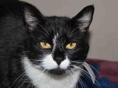 PEDRIC is an adoptable Domestic Short Hair Cat in Martinez, CA.  ...