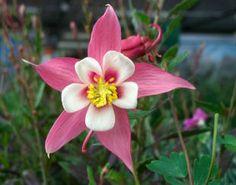 Les plus belles fleurs vivaces par graines et for Plante qui aime l ombre