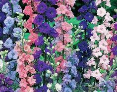 Larkspur- looks a lot like delphinium, but comes in more colors, each bloom is a little further apart, and blooms are a little more delicate.
