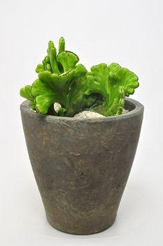 ユーフォルビア レウコデンドロン錦綴化      Euphorbia leucodendron f. variag. crist.