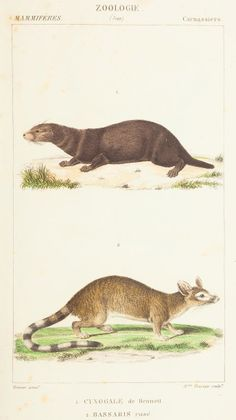 Science or Art? Beautiful Illustrations of Animals From 170 Years Ago | Cynogale bennettii (top), an otter civet, and Bassariscus sp, a ring-tailed cat. (Biodiversity Heritage Library)   | WIRED.com