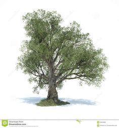 big-olive-tree-d-illustrated-hd-created-ds-max-zbrush…-rendered-v-ray-34623862.jpg (JPEG-Grafik, 1300×1390 Pixel) - Skaliert (65%)