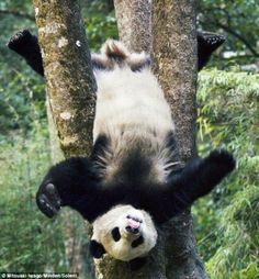 Panda fofo até de cabeça para baixo!