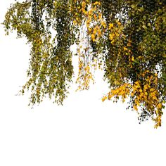 A cut out foreground branch of an autumn birch Photoshop Png, Tree Photoshop, Photoshop Elements, Landscape Architecture, Landscape Design, Tree Psd, Willow Tree Wedding, Fire Image, Tree Silhouette